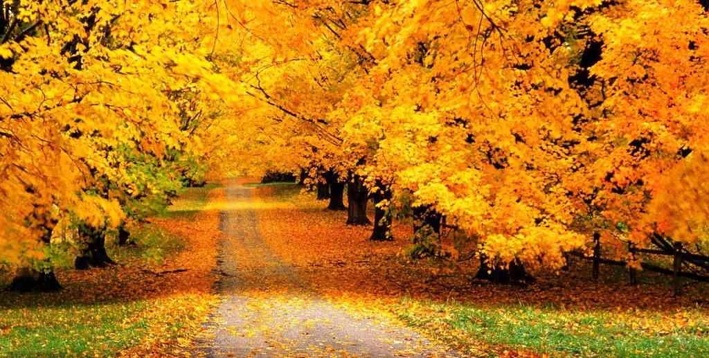 Automne, feuilles jaunes et vent
