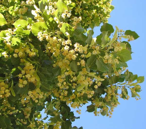 feuilles de tilleul