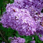 800px-Lilas-flowers2