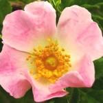églantier fleur
