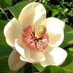 290px-Magnolia_wieseneri