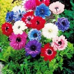 30_anemones_sainte_brigitte_en_melange_r00110432375_0