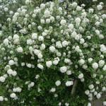 sureau-fleurs-poème-muselli-vincent-poésie