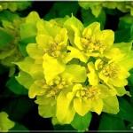 fleur-d-euphorbe-100-4019