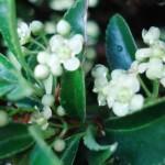 fleur-de-buis-commun