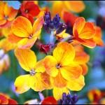 fleur-giroflee