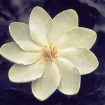 gardenia_thumbergia