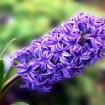 hyacinthe bleu