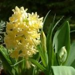 jacinthe jaune