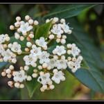 laurier fleurs portugal