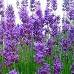 lavande-angustifolia-munstead--godet-de-9x9-cm-13512325291