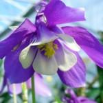 medium_ancolie_bleue1.2