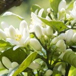 fleur d'oranger  06 alpes maritime arbre avril