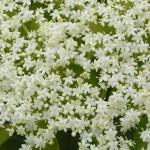 sureau-noir-muselli-poème-poésie-fleurs