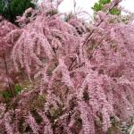 tamaris-plante-fleurs-poème-poésie-charles-maurras