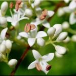 troene-fleurs-félix-
