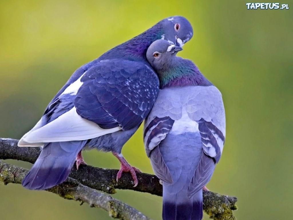 140700_dwa-niebieskie-golebie