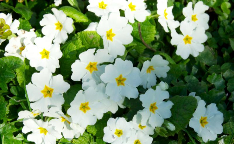 primevere-fleur