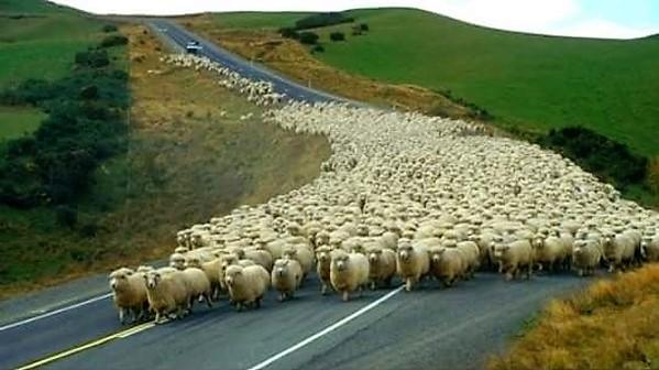 moutons troupeaux