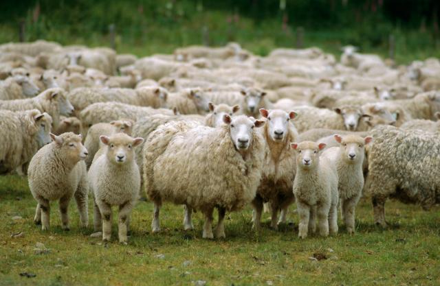 moutons troupaux