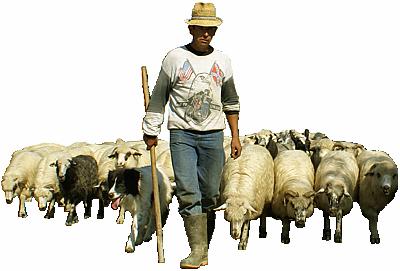 berger, moutons