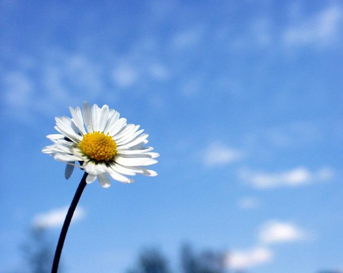 pâquerette, fleurs, stokrotka