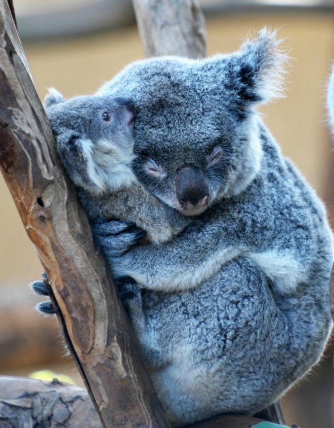 koala avec son petit